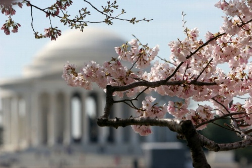 washingtoncherryblossoms.jpg