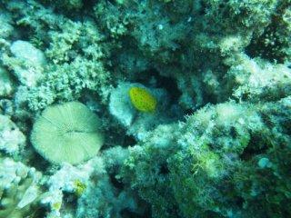 20120913ミナミハコフグ幼魚