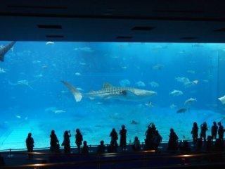 20120919美ら海水族館ジンベイサメ