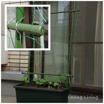 Green Curtain はじめました! 緑のカーテン グリーンカーテン