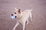 拾ったボールでちょー楽しそうな犬②