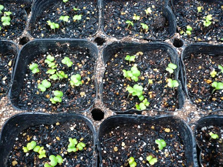 白菜少し成長