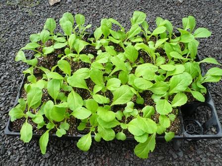 白菜の苗成長