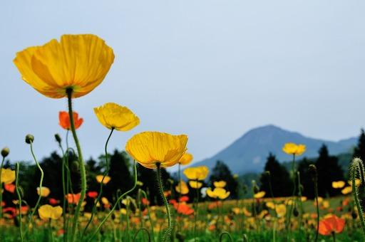 花の丘のアイスランドポピー