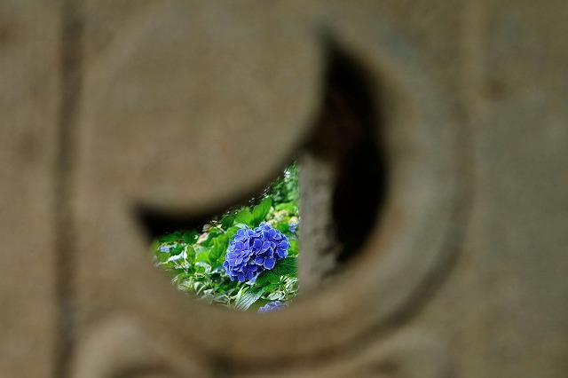 男達は紫陽花も好きなのです
