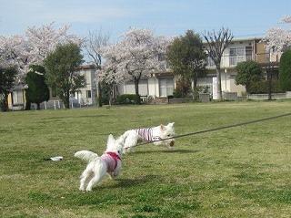 桜 060