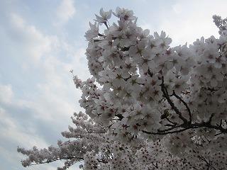 桜 093
