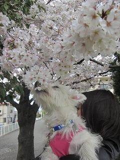 桜 085