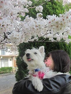 桜 077