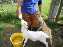 Yuki & milking to goats