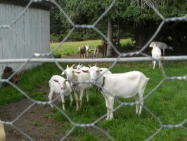Goats-A