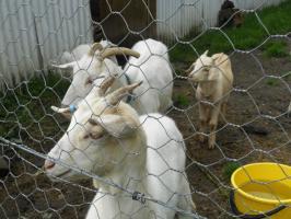 Goats-B