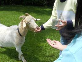 Goat snack