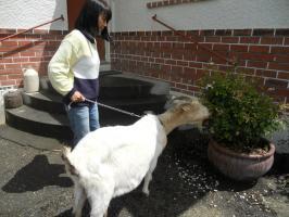 Goat eats rose leaves