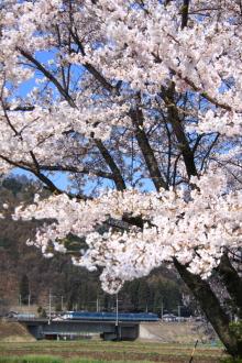 鉄道写真にチャレンジ!-115系と桜 みどり湖
