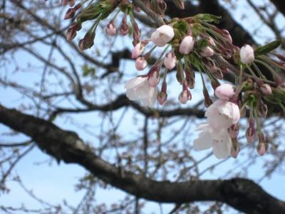 本社敷地の桜⑤