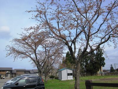 本社敷地の桜③