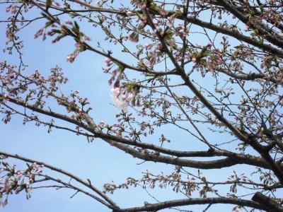 本社敷地の桜②