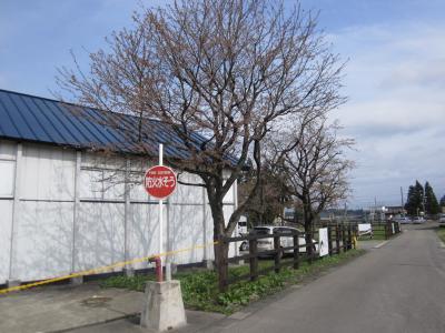 本社敷地の桜①