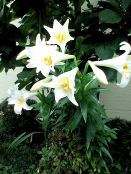 百合のお花