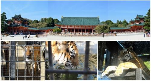 ④神宮と虎