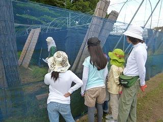 日本ミツバチの巣箱観察