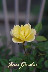 ミニバラ黄
