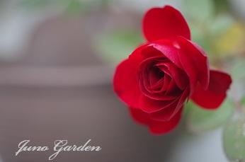 ミニ赤バラ