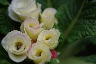 14白バラ咲きジュリアン