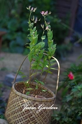 ホトトギス竹籠