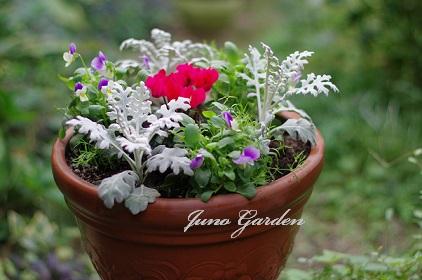 寄せ植えビオラ白妙菊