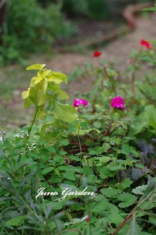 花壇コリウス