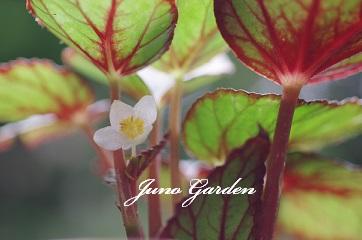 1107レックスベゴニア花