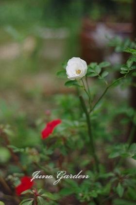 つるバラ1108