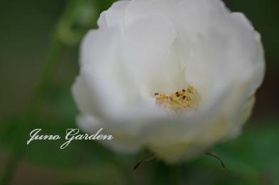 白つるバラ1108