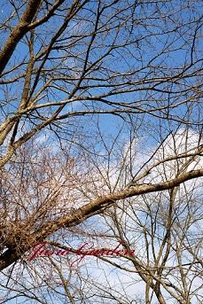 1115桜裸木