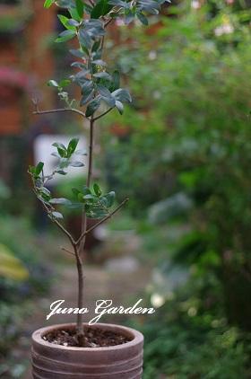 1121鉢植えオリーブ
