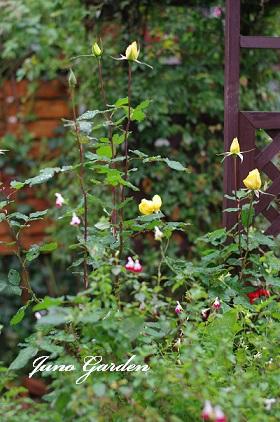 1125黄色バラ