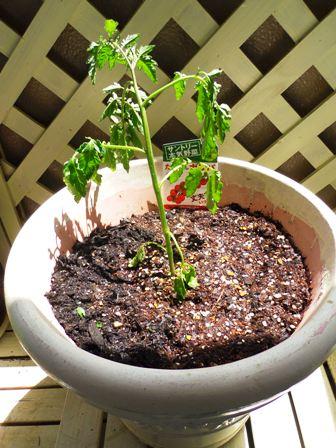 植えたばかりのミニトマト苗