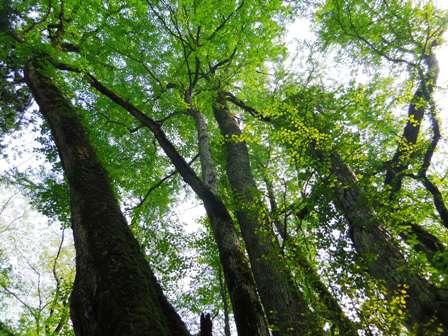 大かつらの樹冠