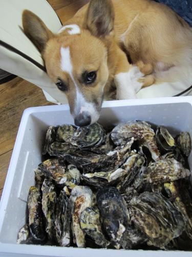 牡蠣とアーサー