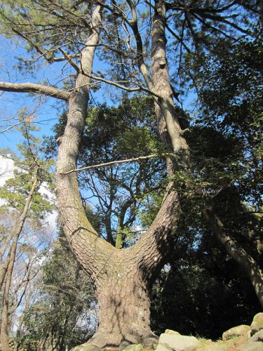 岡崎公園 ロンギヌスの木