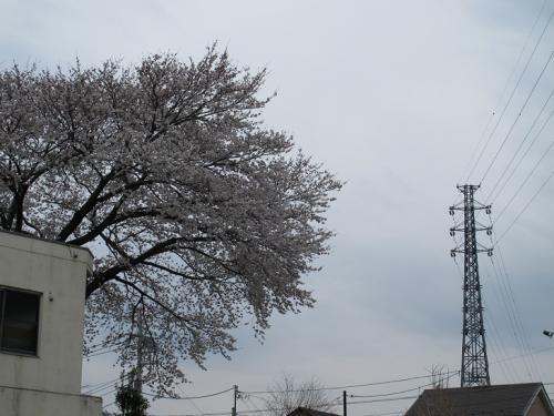 八王子辺り 桜