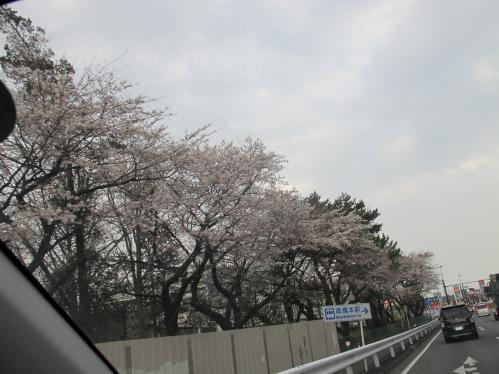 橋本付近 桜