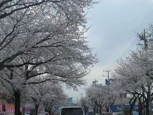 横浜 桜並木
