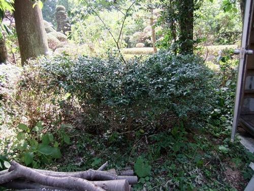 2012.8.13 お盆の剪定された庭木(13日) 058 (2)