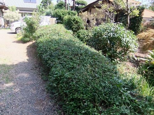 2012.8.13 お盆の剪定された庭木(13日) 058