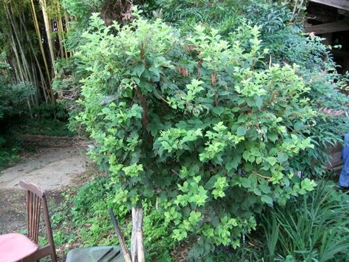 2012.8.22 庭の果樹 036