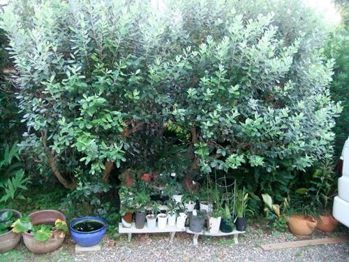 2012.8.22 庭の果樹 034