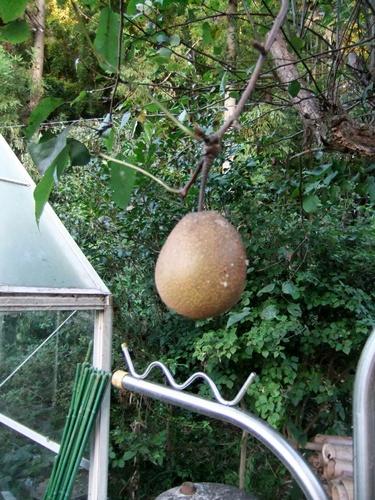 2012.8.22 庭の果樹 033